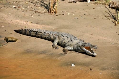 canyon_sumidero_crocodile
