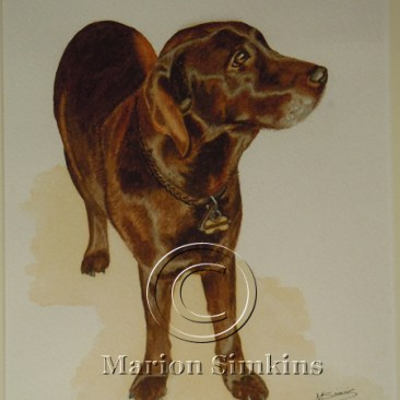 Watercolour painting of a Chocolate Labrador standing, gazing to the right of the picture