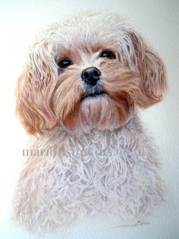 'Bella' the Cockapoo is a head & shoulder watercolour portrait. Bella has two little button eyes and her head is tilted looking up at the viewer. Her fur is curly and golden