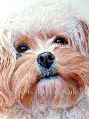 'Bella' the Cockapoo - this is a close-up view of Bella's face from a larger head & shoulder watercolour