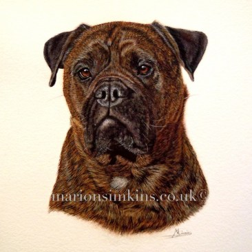 'Charlie' the Bull Mastiff is a brindle. Staring resolutely at the viewer with beautiful brown eyes. She embodies strength and power