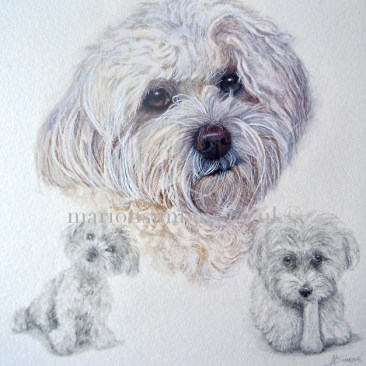 Maltichon is a cross between the Brichon Frise and the Maltese Terrier. Dolly is looking directly at the viewer and has two small drawings of her in different poses to show her character in the lower left and lower right corners.