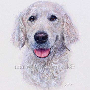 Commissioned head & shoulder pet portrait watercolour painting of a Golden Retriever called 'Poppy' looking directly at the viewer with chestnut brown eyes, whitish fur and a pink tongue.