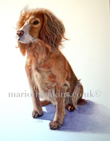 'Teasle' the Spaniel, a bespoke watercolour full body portrait of a golden spaniel sitting with the sun shining on him and casting a shadow and the wind ruffling his fur
