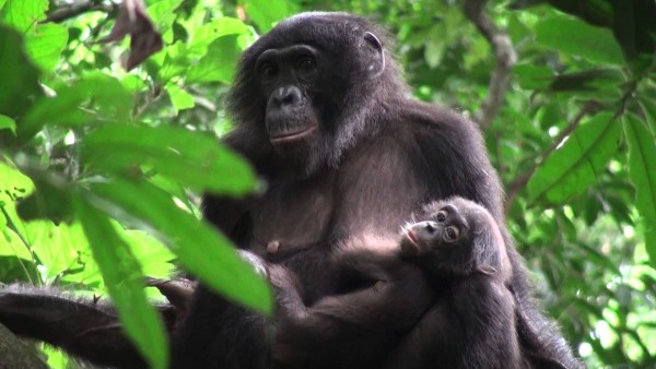 Bonobo Female with Offspring in Congo