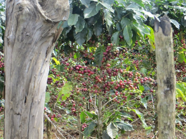 Surrounded by coffee plantations filled with trees bursting with ripe coffee berries, you kind of had to wonder why we were served instant coffee at breakfast