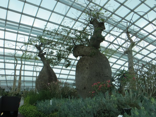 "Some of the ""bottle trees"" in the Flower Dome. They evolved in arid climates to store moisture in those bottles, which is why you don't see any of them in Minnesota."