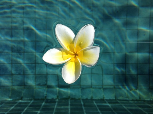 Our usually pristine pool was sometimes sullied by falling frangipani blossoms.