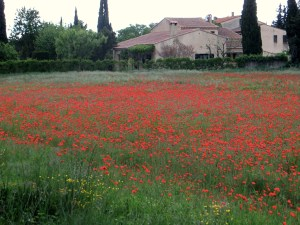 Poppies in Provence ... just part of the beauty