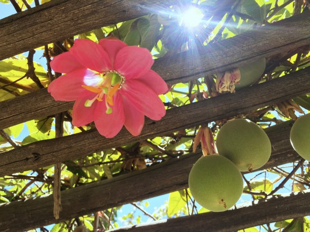 Passion fruit growing in a pergola right outside the hotel