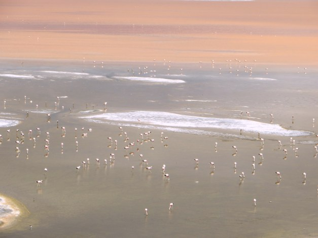 Thousands of flamingoes