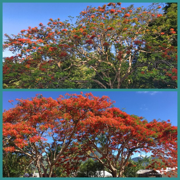 And what blog post from Queensland in the spring would be complete without pictures of flame trees?
