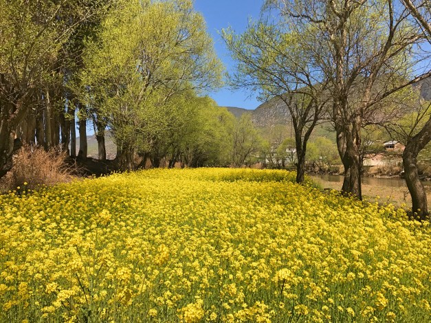 Shaxi is set in a valley with a ton of agriculture all around it. This field of blossoming ... something? one reference we saw online suggested it was a kind of  sorrel, but I wouldn't know ... made a great place for a long afternoon reading break.