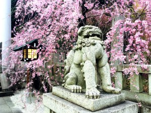 More cherry blossoms, this time with a lion!