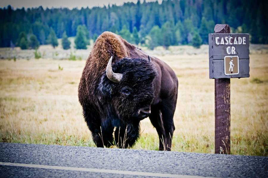 Mark Epstein Photo   Bison at Cascade Creek