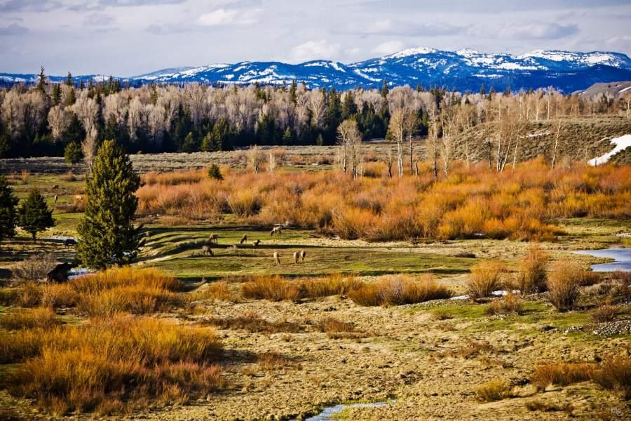 grand teton national park, elk
