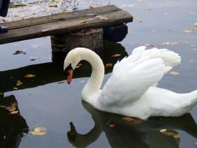 swan-2155710_640