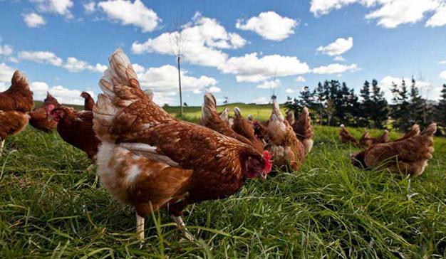 Mercadona adelanta sus planes de vender solamente huevos que procedan de gallinas en libertad
