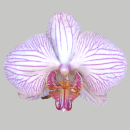 Orchid by Mark Florquin