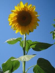 1024px-Sunflower_Taleghan