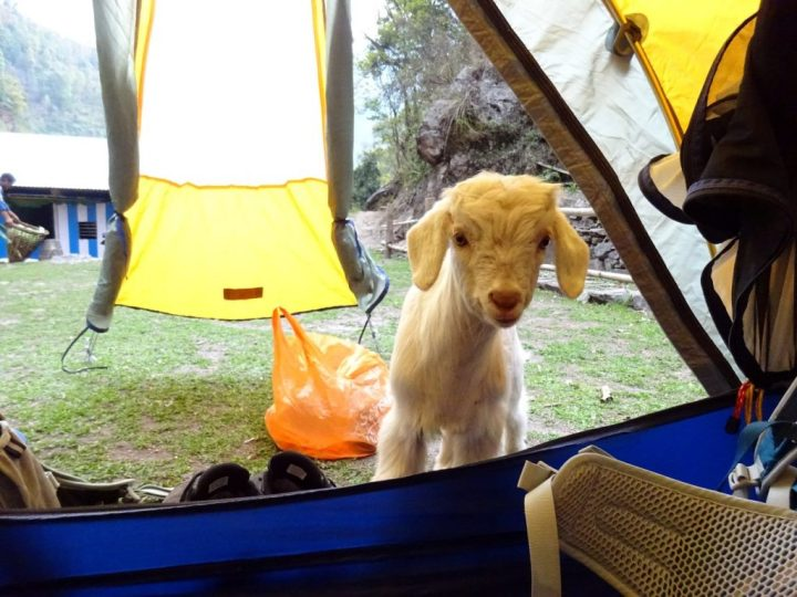 An inquisitive goat stuck its head into the porch of our tent
