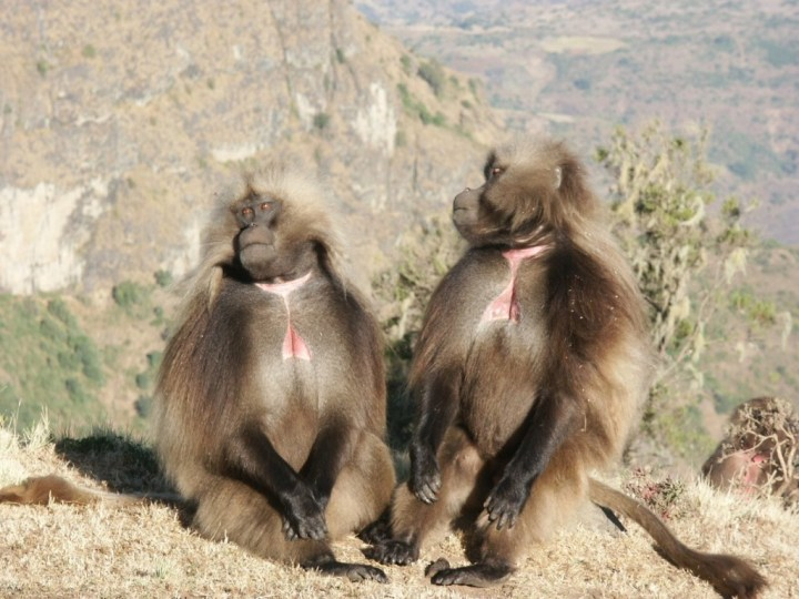 Male geladas sun themselves by the escarpment's edge