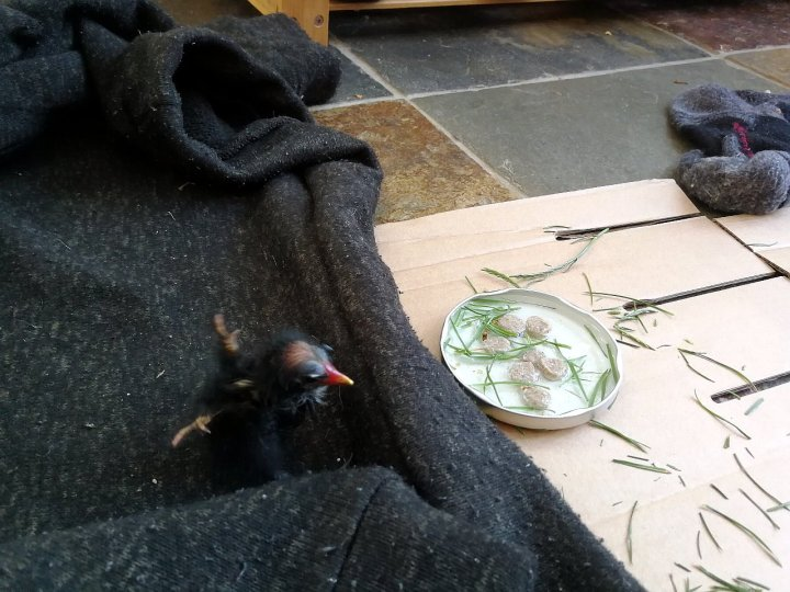 Little Mo the moorhen chick with his bed, food and water