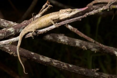 Calumma gallus, adult male. Photo by Brian Gratwicke, CC BY 2.0