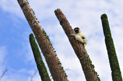 A sifaka with her baby