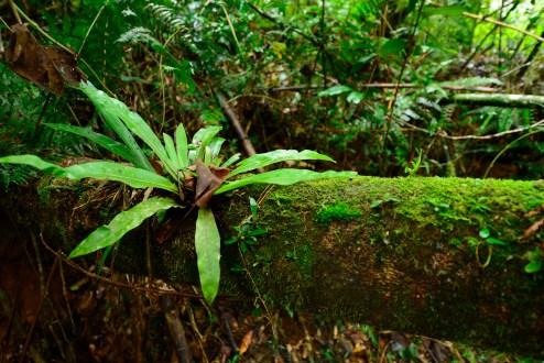A large bird's nest fern