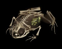 The skeleton of Rhombophryne ornata with a frog contained in the stomach rendered in green.