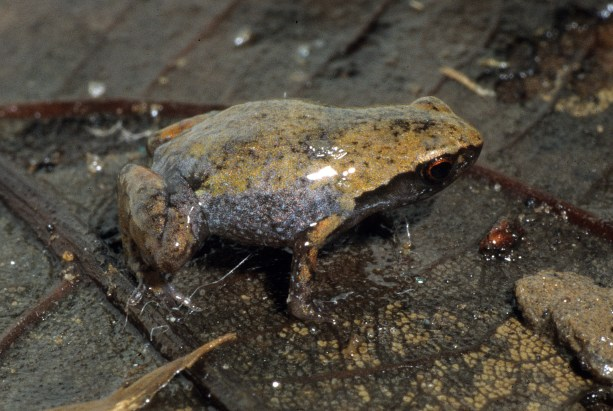 Anodonthyla eximia in situ, another tiny species of independent origin. Photo by Miguel Vences.