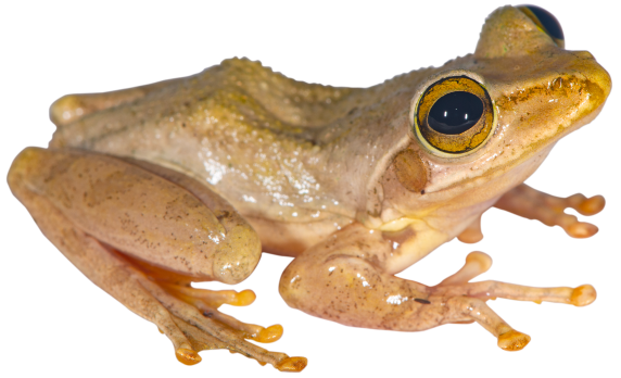 Boophis tephraeomystax from Montagne d'Ambre
