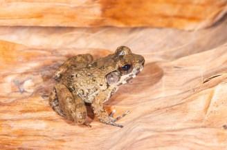 Mantidactylus ulcerosus