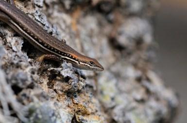 Trachylepis elegans