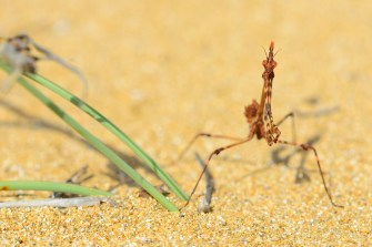 Bizarre mantises stalk the dunes of the south of Corfu