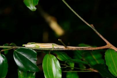 An adult male Calumma gehringi