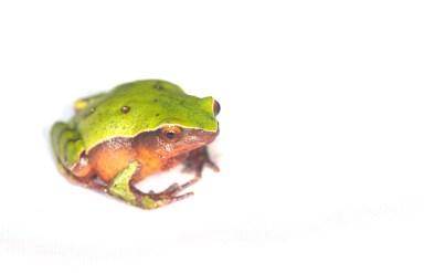 Plethodontohyla guentheri