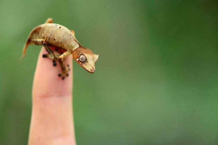 Uroplatus fotsivava juvenile on my finger