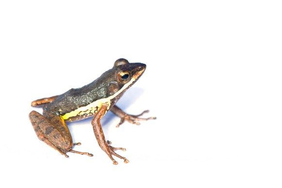 Mantidactylus sp. (aff. zavona?)