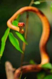 Phisalixella variabilis