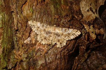 A well-camouflaged moth