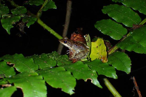 Mantidactylus aff. femoralis