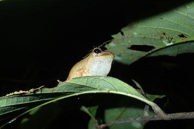 Gephyromantis (Duboimantis) redimitus