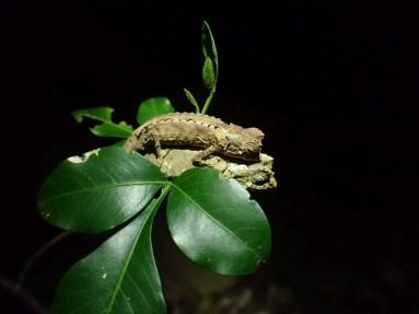 Brookesia antakarana/ambreensis
