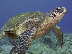 Are Green Sea Turtle Populations Increasing along the Texas Gulf Coast?