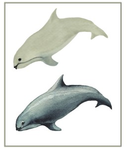 Vaquita (Phocoena sinus), a small porpoise endemic to the northern Gulf of Mexico, Illustration by Justin Shepherd www.markshepherdjournal.com
