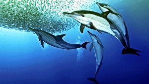 naturesGreatEventsDolphins