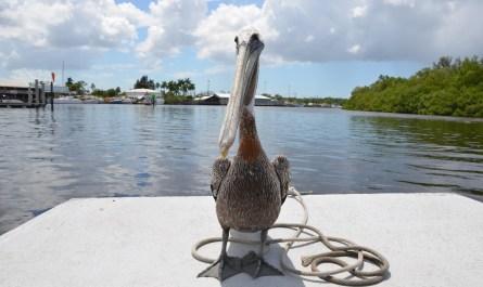 Pelikan in Everglades City