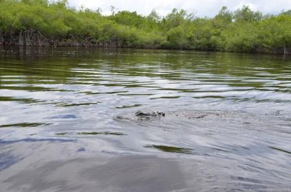 Alligator in den Everglades ganz nah